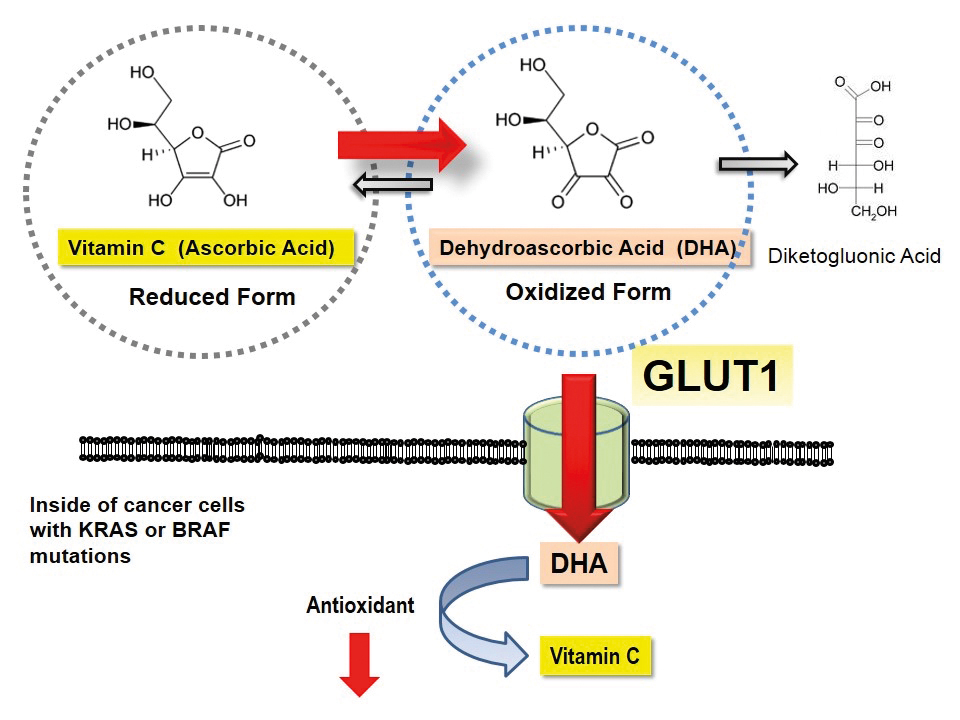 graphic of vitamin C and DHA conversion and transport in KRAS and BRAF mutated cells