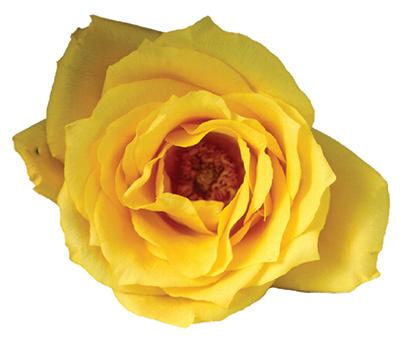 Life Begins - Yellow Rose