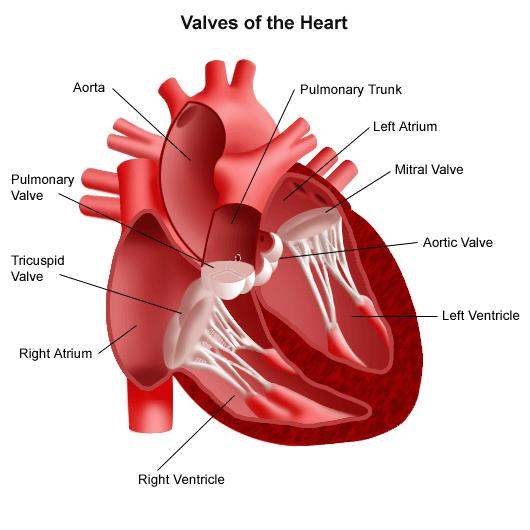 Illustration of the heart and its valves