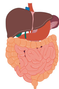 Illustration of human liver and intestines